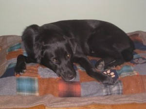 "Black Lab ""Buddy"" enjoying his pet quilt!"