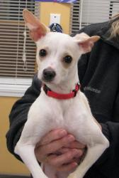 """Percy"" Italian Greyhound/Chih. Mix - Adopt in Hood River, OR - Click the Pic for Info!"